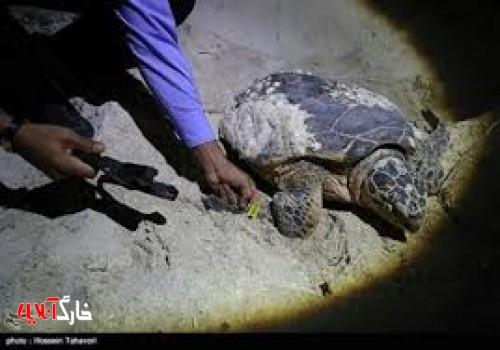 ۲ متخلف برداشت تخم لاکپشتها در خارگو بوشهر به مراجع قضایی معرفی شدند