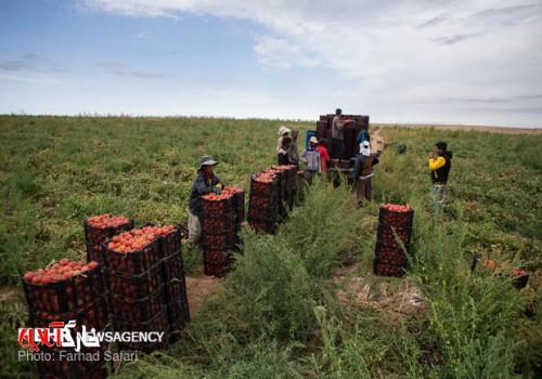 ۶۰۰ هزار تن گوجهفرنگی خارج از فصل در استان بوشهر برداشت میشود