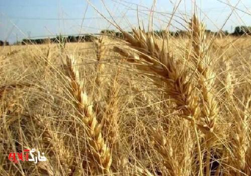 وضعیت مراکز خرید گندم در شهرستان گناوه بهبود مییابد