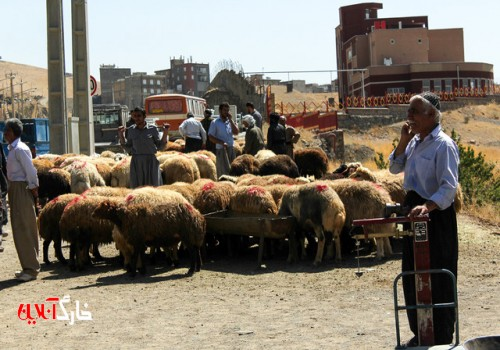 نظارت بر ذبح بهداشتی دام در بوشهر