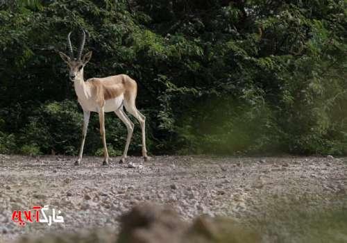 ۱۵۳ راس آهو در پارک حیات وحش کیش سرشماری شد